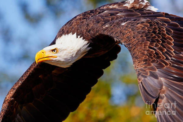 Photograph - Eagle In Flight by Nick  Biemans