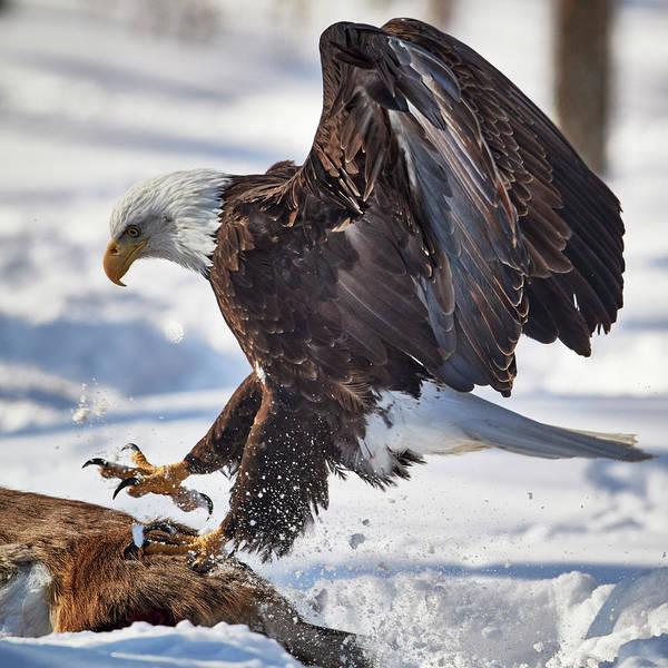 Wall Art - Photograph - Eagle Landing by Paul Freidlund
