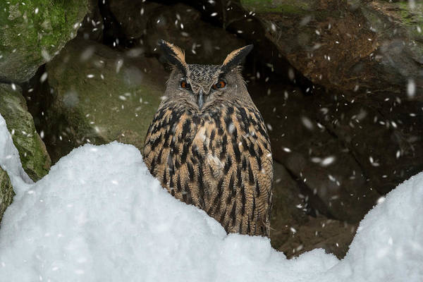 Photograph - Eagle Owl In Winter by Arterra Picture Library