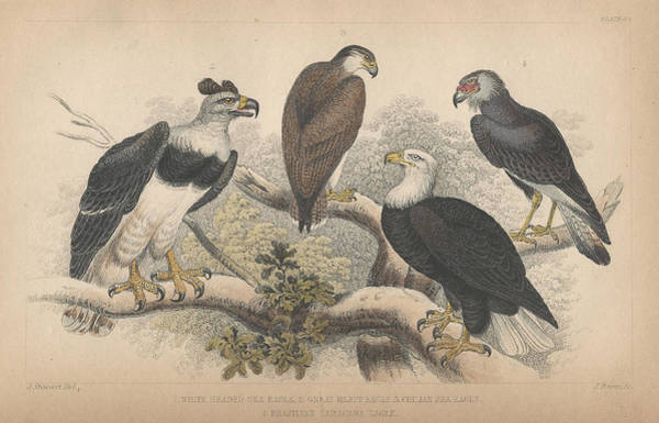 Bald Eagles Drawing - Eagles by Dreyer Wildlife Print Collections