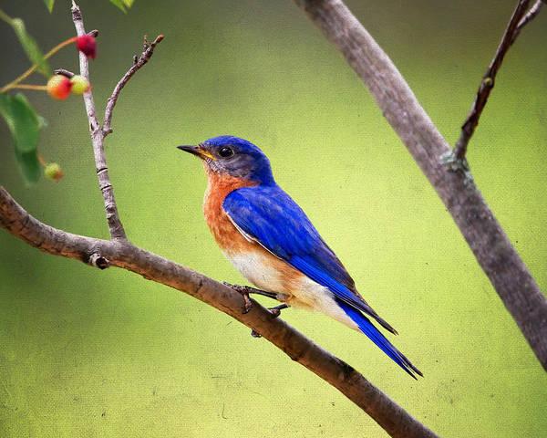Wall Art - Photograph - Eastern Bluebird by Al  Mueller
