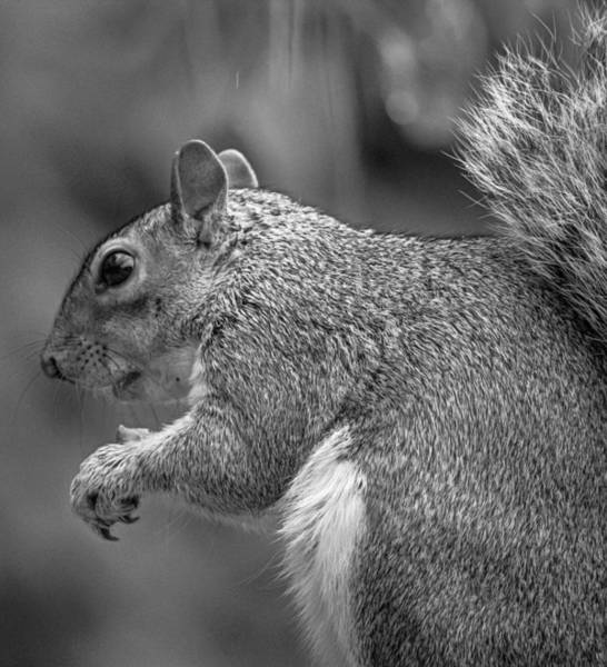 Grey Squirrel Photograph - Eastern Grey Squirrel  by Martin Newman