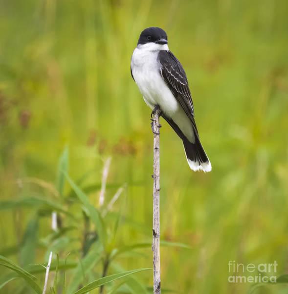 Photograph - Eastern Kingbird  by Ricky L Jones