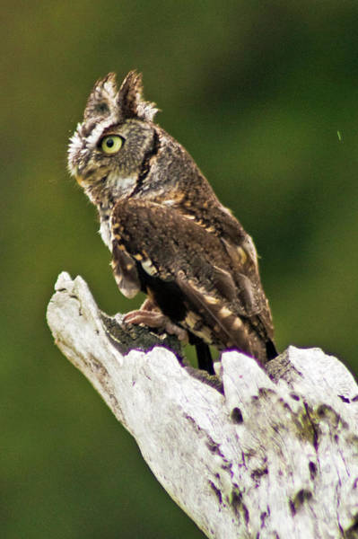 Photograph - Eastern Screech Owl by Bill Barber