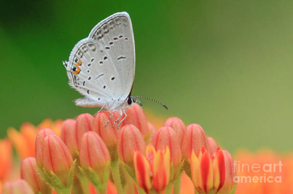 Photograph - Eastern Tailed Blue On Butterfly Weed by Katie Joya