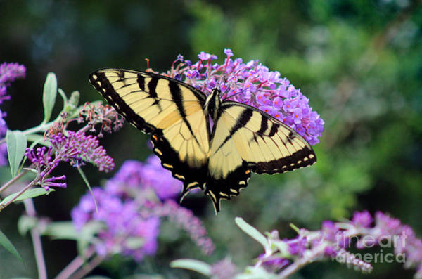 Photograph - Eastern Tiger Swallowtail Butterfly 2015 by Karen Adams