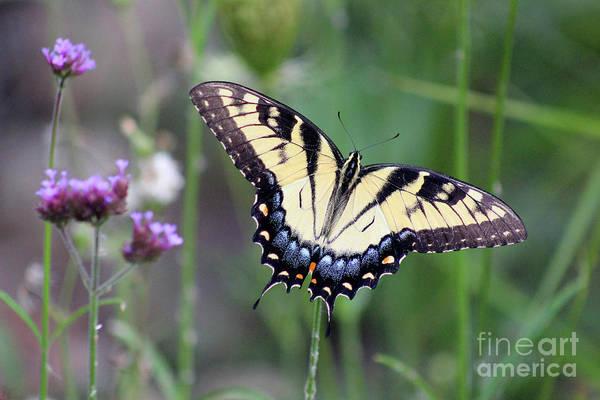 Photograph - Eastern Tiger Swallowtail Butterfly In Meadow by Karen Adams
