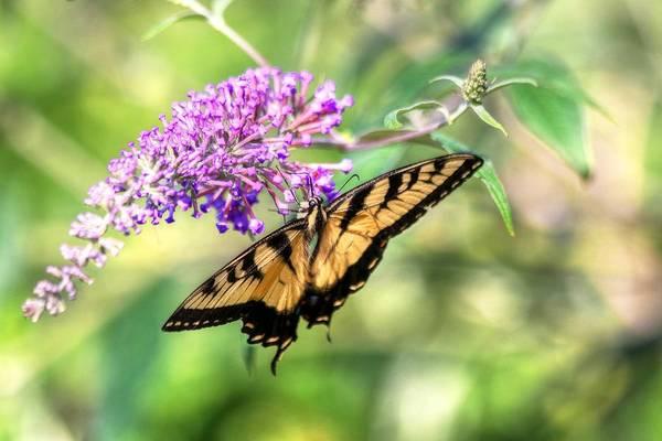 Photograph - Eastern Tiger Swallowtail by Carol Montoya