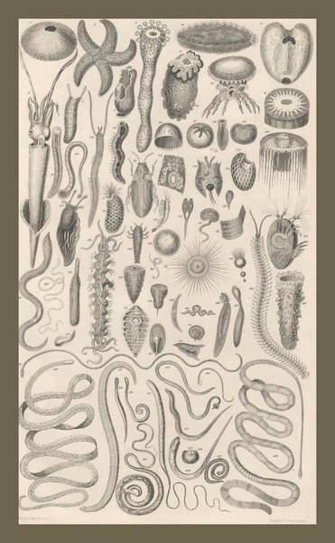 Wall Art - Drawing - Echinodermata by Dreyer Wildlife Print Collections