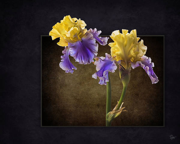 Photograph - Edith Wolford Bearded Iris by Endre Balogh