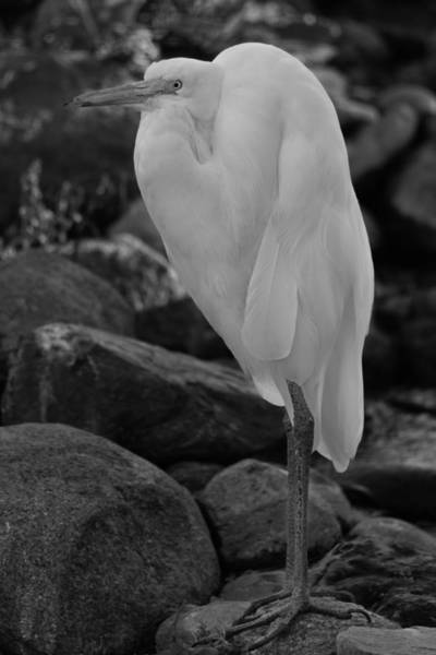 Photograph - Egret  by Brian Cross