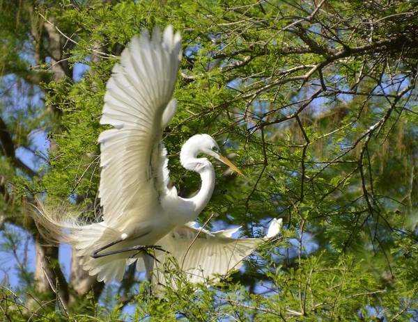Photograph - Egret Landing by Bill Hosford