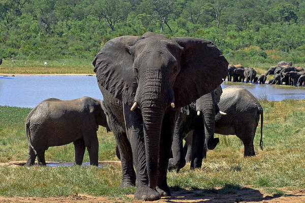 Photograph - Elephant by Tony Murtagh