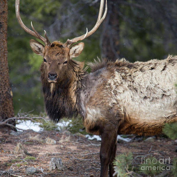 Wall Art - Photograph - Elk In Rocky Mountain National Park  by Twenty Two North Photography