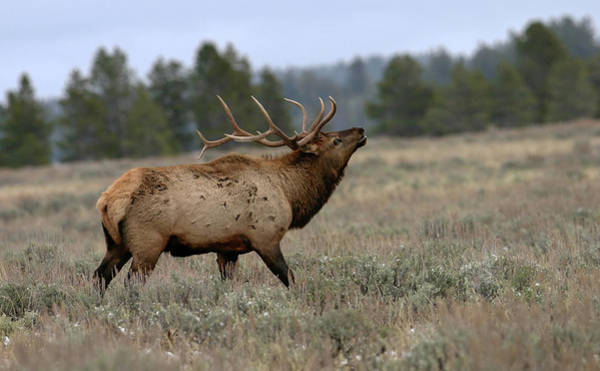 Photograph - Elk by Ronnie and Frances Howard