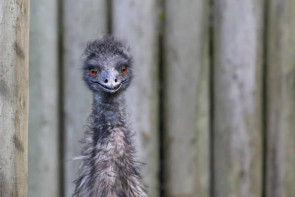 Wall Art - Photograph - Emu by Paul Fell