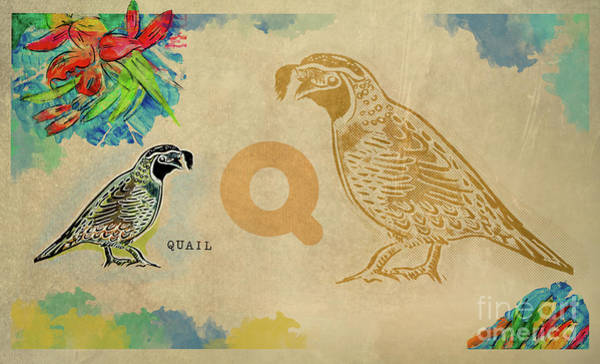 Drawing - English Alphabet , Quail by Ariadna De Raadt