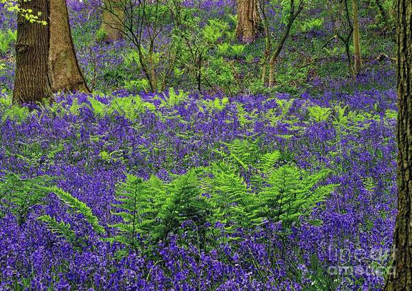Photograph - English Bluebell Woodland by Martyn Arnold