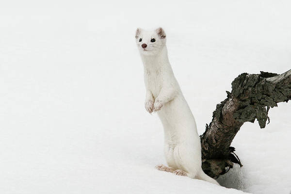 Photograph - Ermine by Ronnie and Frances Howard