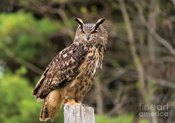 Photograph - Eurasian Eagle Owl by Les Palenik