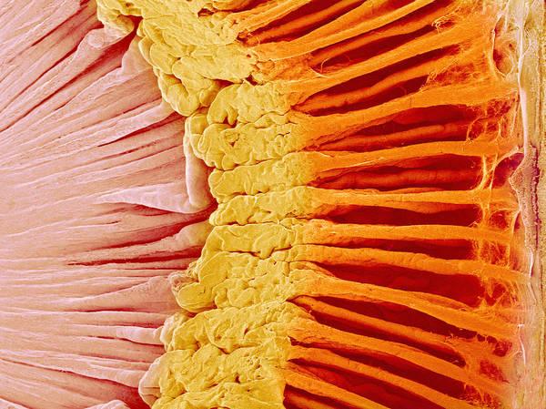 Wall Art - Photograph - Eye Anatomy, Sem by Susumu Nishinaga