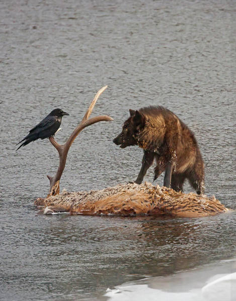 Photograph - Face To Face Wolf And Raven by Mark Miller