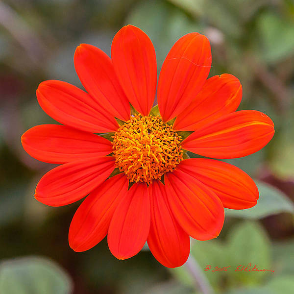 Photograph - Fall Flower by Edward Peterson