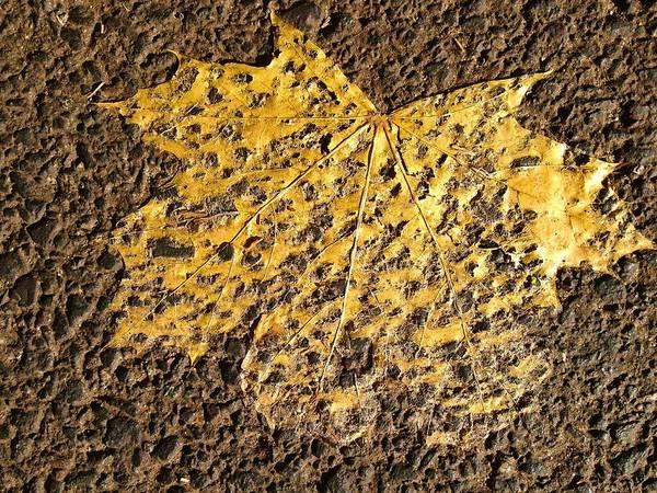 Photograph - Fall Leaf Ground Into Asphalt by Polly Castor