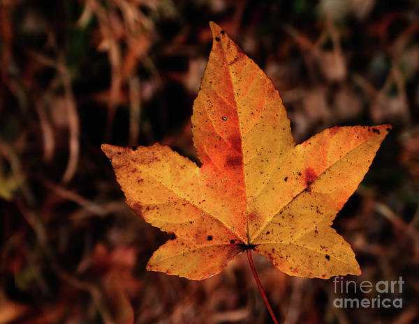 Photograph - Fall Leaf by Karen Harrison