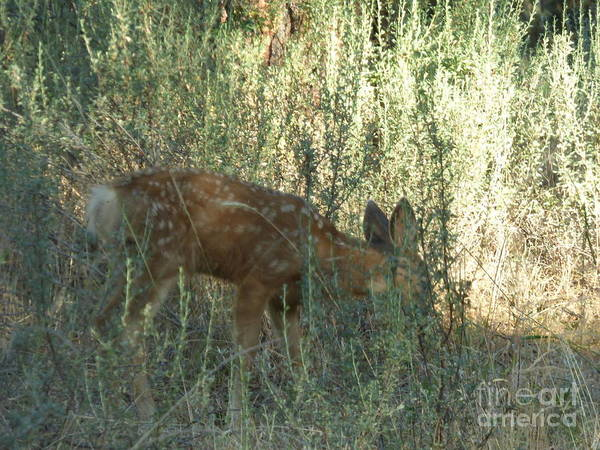 Photograph - Fawn by Charles Robinson