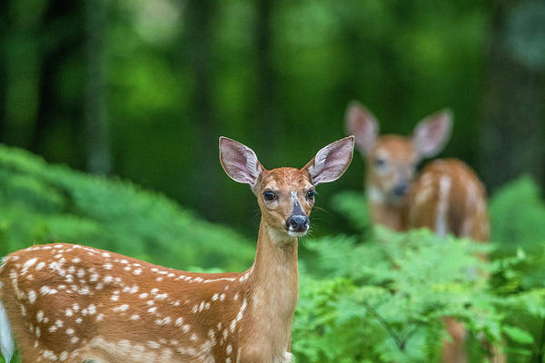 White Tailed Deer Photograph - Fawns by Paul Freidlund