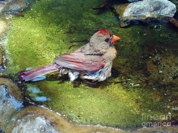 Photograph - Female Cardinal In The Bath by D Hackett