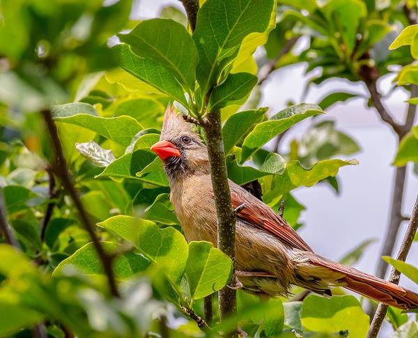 Photograph - Female Cardinal by Keith Smith
