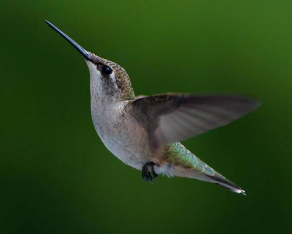 Photograph - Female Ruby Throated Hummingbird by Brenda Jacobs