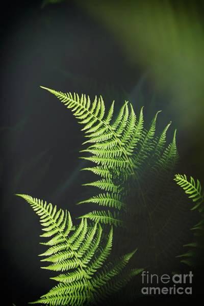 Ferns Photograph - Fern by Veikko Suikkanen