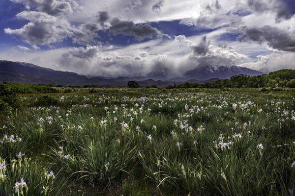 Photograph - Field Of Iris by Cat Connor