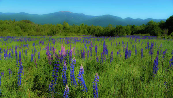Photograph - Field Of Lupines by Brenda Jacobs