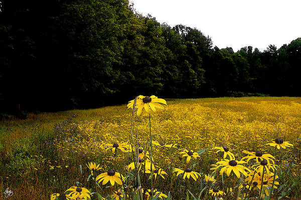 Photograph - Field Of Black-eyed Susans by Wayne King
