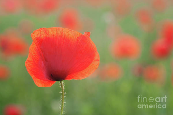 Wall Art - Photograph - Field Poppies by Janet Burdon