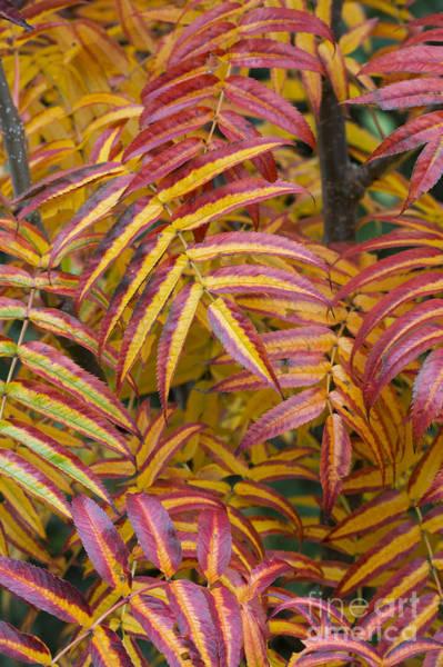 Rowan Photograph - Fiery Foliage  by Tim Gainey