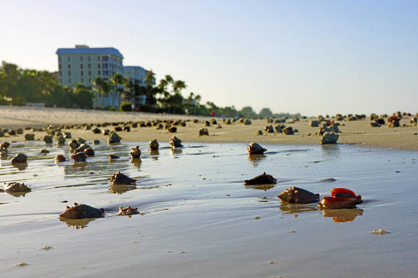 Photograph - Fighting Conchs On The Beach In Naples, Fl by Robb Stan