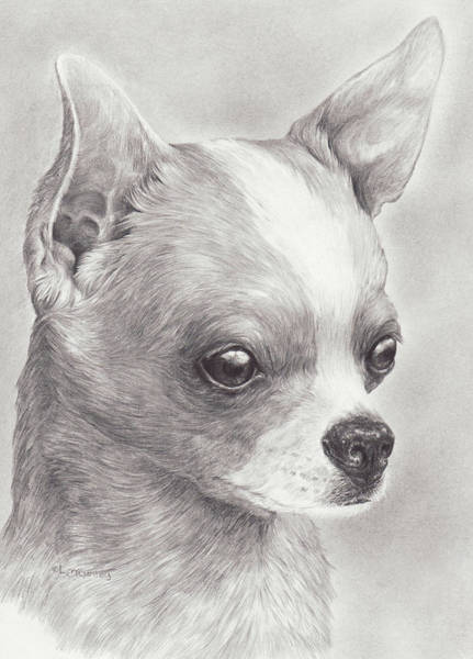 Drawing - Fine Chihuahua by Laurie McGinley