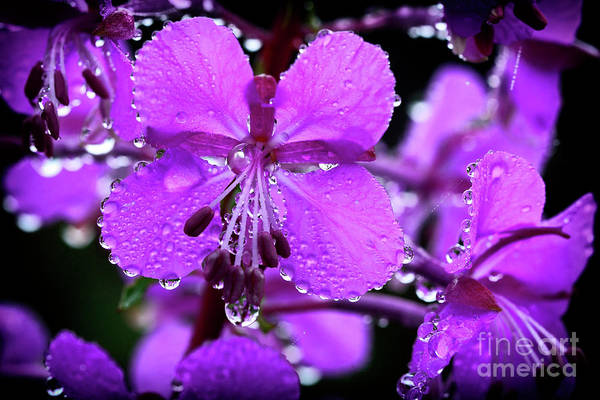 Photograph - Fireweed With Dew by Thomas R Fletcher