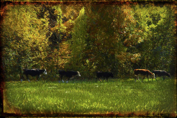 Photograph -  Cows Walking In Line On A Beautiful Fall Day. by Rusty R Smith