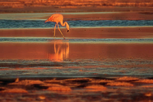Salar De Atacama Photograph - Flamingo by Christian Heeb