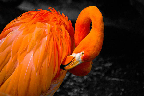 Water Birds Photograph - Flamingo by Craig Perry-Ollila