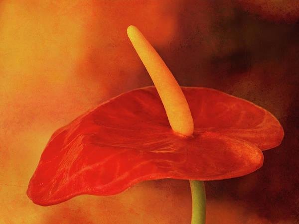 Photograph - Flamingo Flower by Lutz Baar