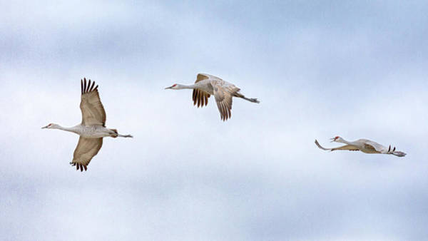 Photograph - Flight Of The Sandhills by Susan Rissi Tregoning
