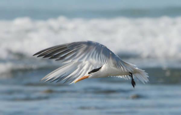 Elegant Tern Wall Art - Photograph - Flight Of The Tern by Fraida Gutovich