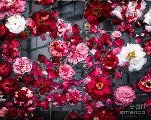 Photograph - Floating Camelia Blossoms by Ann Jacobson